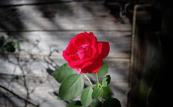 Workshop Rose by Sarah Barber