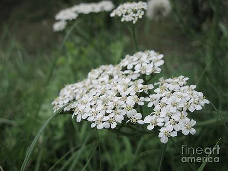 Yarrow by Crissy Boss