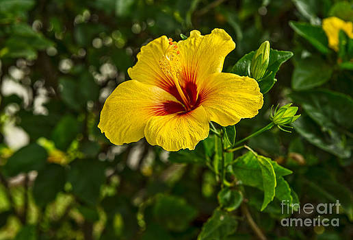 Jamie Pham - Yellow - beautiful hibiscus flowers in bloom on the island of Maui.