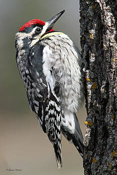 Yellow-bellied Sapsucker by Sharon Watson