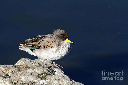 James Brunker - Yellow billed teal on Rock