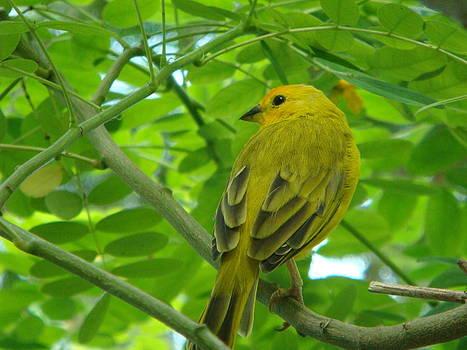 Adrienne Franklin - Yellow Bird