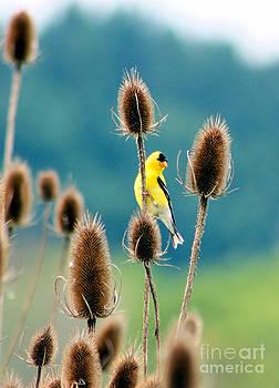 Nick Gustafson - Yellow Bird