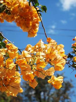 Yellow Bougainvillea Blossoms by Frank Chipasula