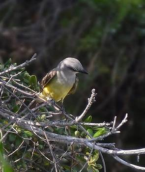 Yellow Breasted Kingbird by Stefon Marc Brown