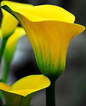 Yellow Calla Lily by JoAnn Lense