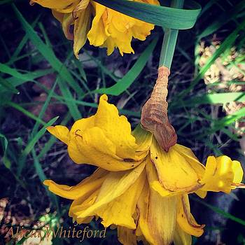 Yellow Daffodils  by Alicia Whiteford