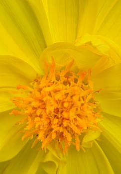 onyonet  photo studios - Yellow Dahlia Center
