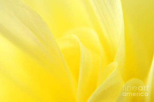 Yellow Dahlia Close-up by Olivia Hardwicke