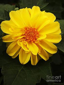 Yellow Dahlias by Deborah Fay