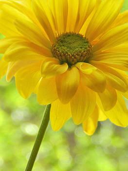 Nina Bradica - Yellow Daisy