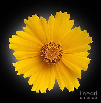 Yellow Daisy by Tony Cordoza