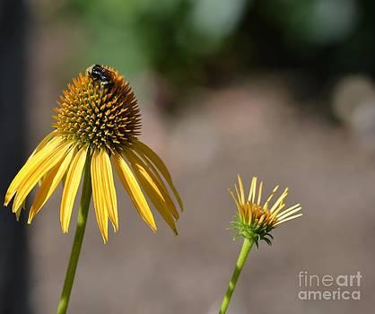 Yellow Echinacea by P S