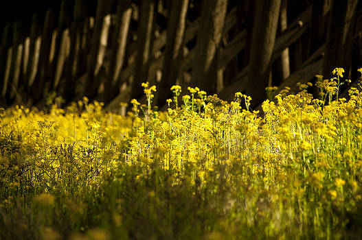 Yellow Flowers  by Alicia Morales