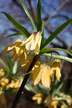 Yellow Fritillary by Gerry Bates