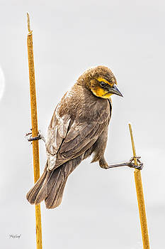 Yellow-Headed Blackbird Female  by Fred J Lord