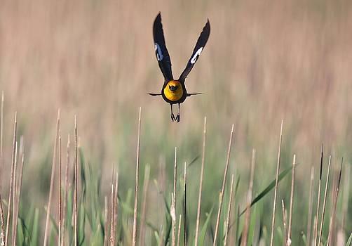 Yellow-Headed Blackbird Male Flight by John Dart