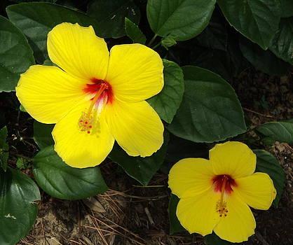 Yellow Hibiscus by Paula Tohline Calhoun