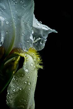 Yellow Iris II by Margaretha Brooks
