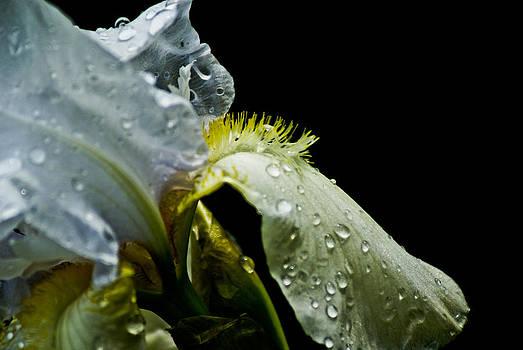 Yellow Iris by Margaretha Brooks