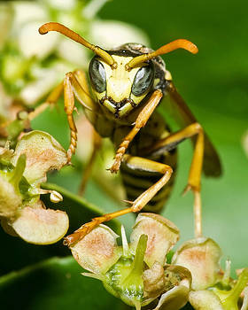 Yellow Jacket Stare by Jaci Harmsen
