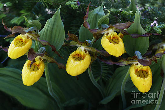 Barbara McMahon - Yellow Lady Slippers on Forest Floor