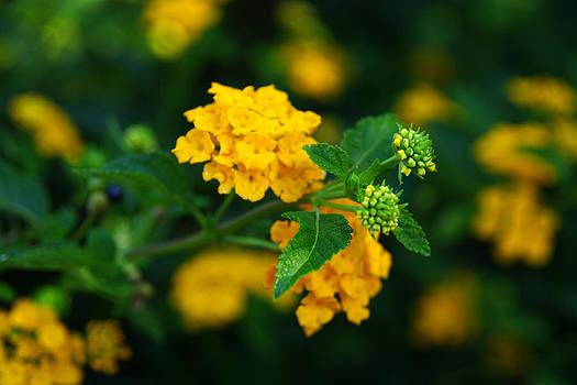 Yellow Lantana by Kevin Trow