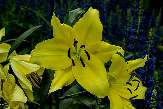 Yellow Lillies by Wanda J King