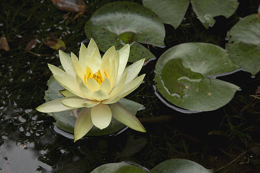 Yellow Lilly by Billy Lewis