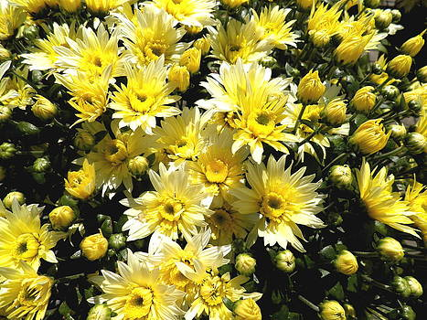 Kate Gallagher - Yellow Mums
