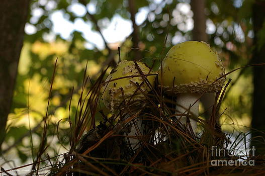 Tannis  Baldwin - Yellow Mushrooms