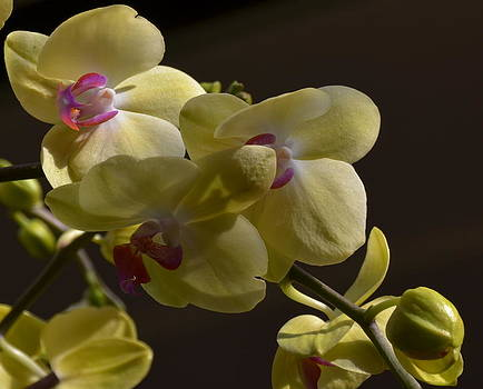 Yellow Orchid by Xcape Photography