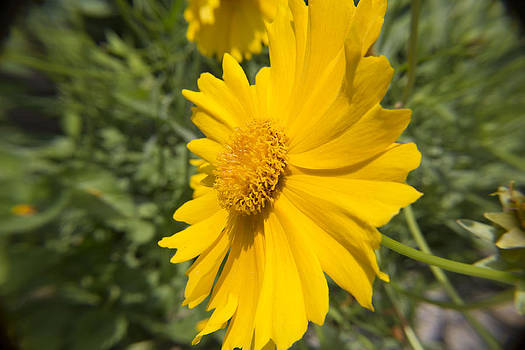 Yellow Painted Daisy by Teresa Wissen
