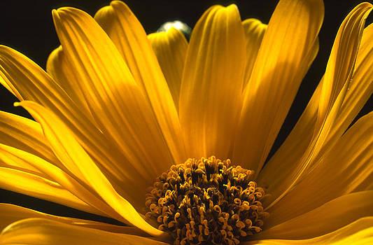 Yellow Petals by Henrique Souto