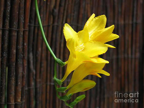 Yellow Petals by HEVi FineArt