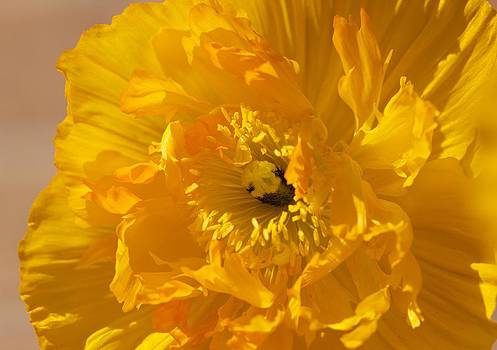 Yellow Poppy by Bonita Hensley