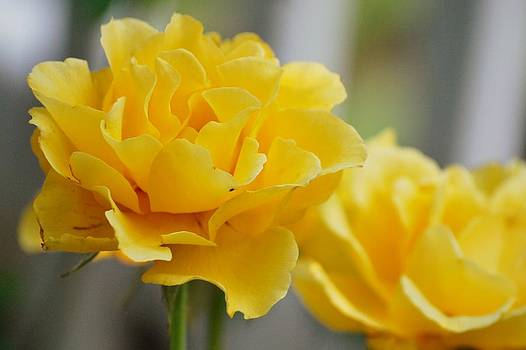 Yellow Rose by Amee Cave