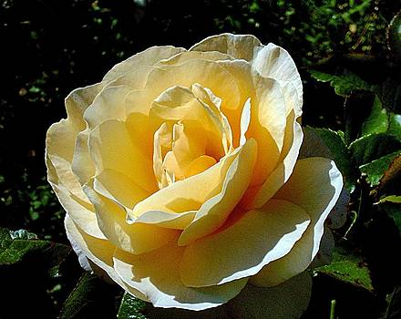 Yellow rose by Andries Hartholt