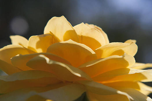 Yellow Rose by Heather Palmer