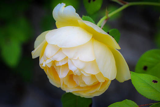 Yellow Rose by Laurel Butkins