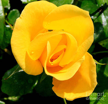 Yellow Rose of Friendship by Eva Thomas