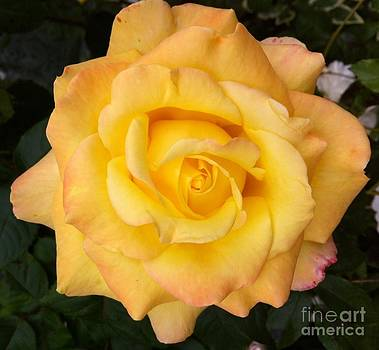 Yellow rose of friendship by Julie Koretz