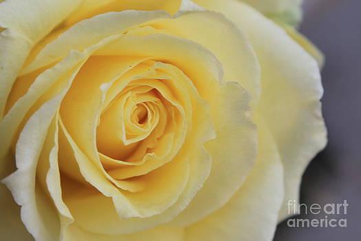 Yellow Rose by Teresa Thomas
