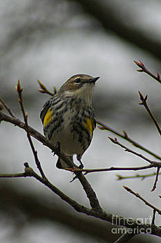 Yellow-Rumped Warbler by Sherry Vance