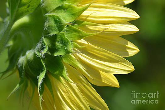 Yellow Sunflower by P S