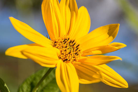Yellow Sunshine by Laurel Butkins