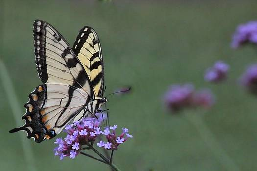 Rosanne Jordan - Yellow Swallowtail Butterfly 1