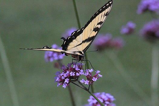 Rosanne Jordan - Yellow Swallowtail Butterfly 2
