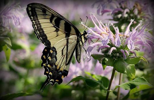 Rosanne Jordan - Yellow Swallowtail on Bee Balm