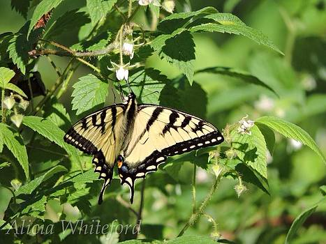 Yellow Tiger Swallowtail  by Alicia Whiteford